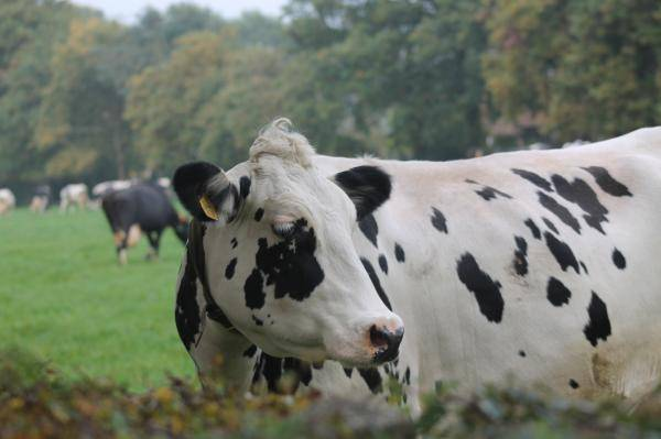 Low protein rations for dairy cattle: can intestinal digestible amino acids help?